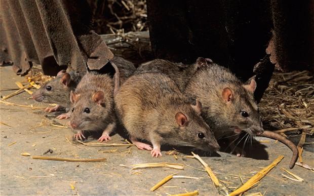 rat_in-barn